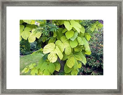 Hop Bine (humulus Lupulus 'aureus') Framed Print by Geoff Kidd/science Photo Library