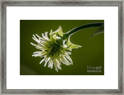 Hop Flower Close-up Framed Print