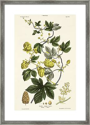 Hop Vine From The Young Landsman Framed Print by Matthias Trentsensky