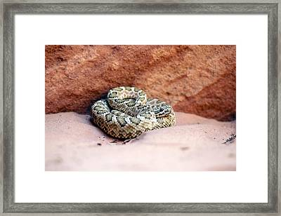 Hopi Rattlesnake Framed Print by Science Photo Library