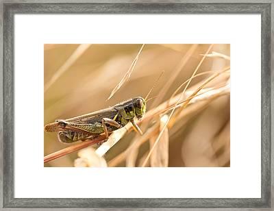 Hopper In Golden Grass Framed Print