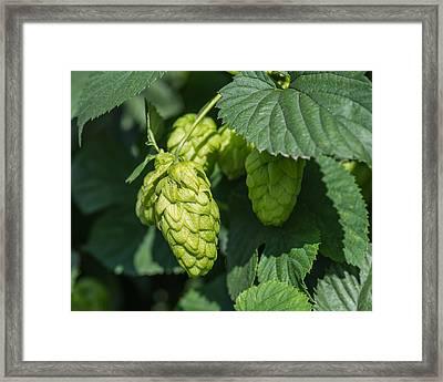 Hops For Beer Framed Print by Priya Ghose