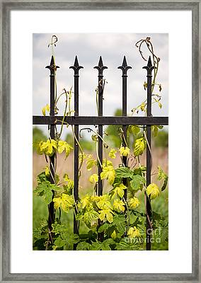 Climbing Humulus Or Hop Growing On Steel Fence Framed Print