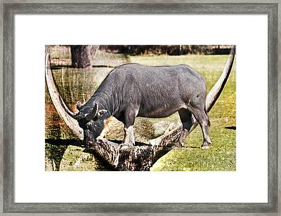 Horn Of A Buffallo Framed Print