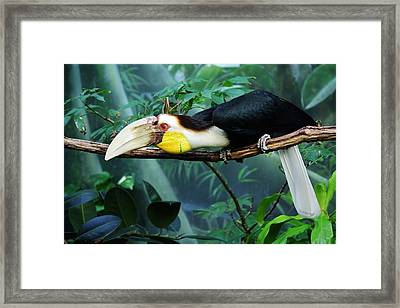 Hornbill Framed Print by Paulette Thomas
