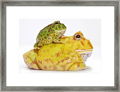 Horned Frogs Framed Print by Michel Gunther