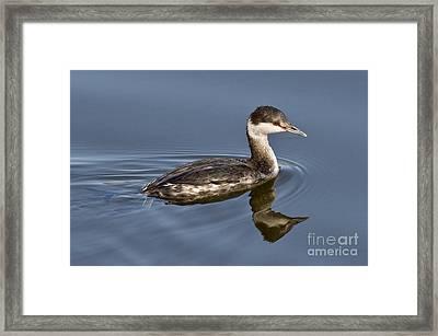 Horned Grebe Framed Print