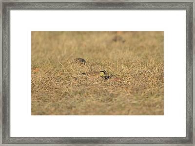 Horned Lark 2 Framed Print