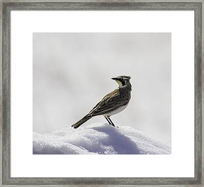 Horned Lark Portrait Framed Print by Thomas Young