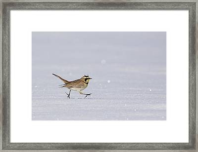 Horned Lark Running Across The Snow Framed Print