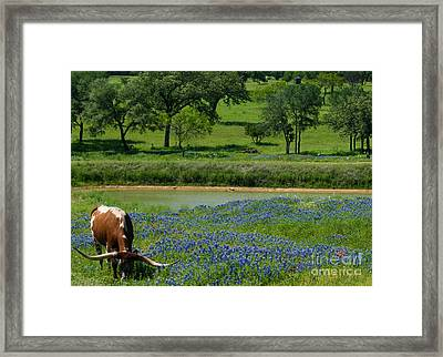 Horns And Bluebonnets Framed Print