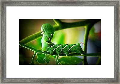 Hornworm Framed Print