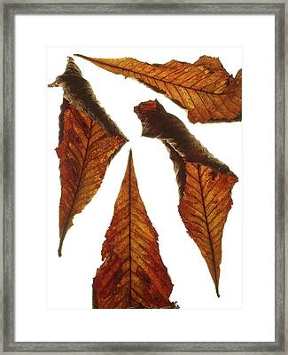 Horse Chestnut Leaves Framed Print by Science Photo Library