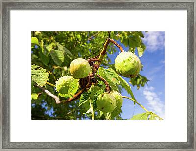 Horse Chestnuts Framed Print by Ashley Cooper