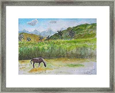 Horse Grazing With Sugar Cane Field In Background Framed Print