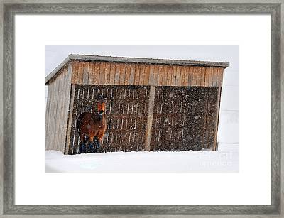 Horse Looking At Snow Storm Framed Print by Dan Friend