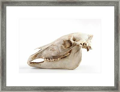 Horse Skull Framed Print by Ucl, Grant Museum Of Zoology