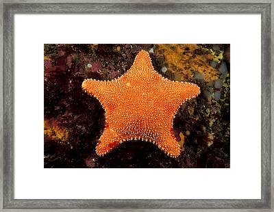 Horse Star Framed Print by Andrew J. Martinez