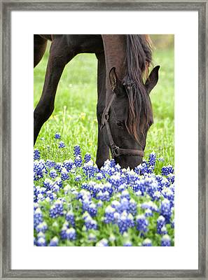 Horse With Bluebonnets Framed Print