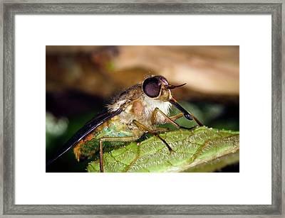 Horsefly Framed Print