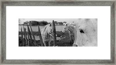 Horses, Camargue, France Framed Print by Panoramic Images