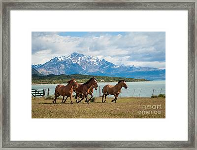 Horses Galloping In Patagonia Framed Print by OUAP Photography