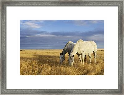 Horses Grazing In Cypress Hills Framed Print by Peter Carroll