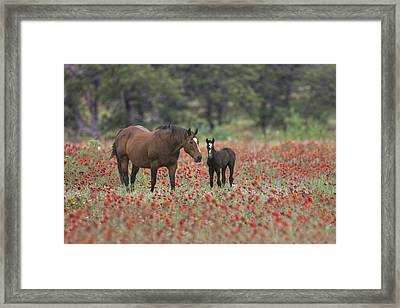 Horses In A Field Of Texas Wildflowers 2 Framed Print by Rob Greebon