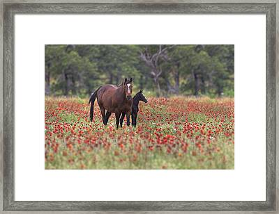 Horses In A Field Of Texas Wildflowers Framed Print by Rob Greebon