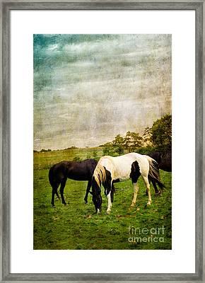Horses In Field Framed Print by Amy Cicconi