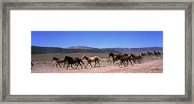 Horses Running In A Field, Colorado, Usa Framed Print by Panoramic Images