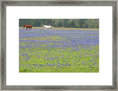 Horses Running In Field Of Bluebonnets Framed Print by Connie Fox