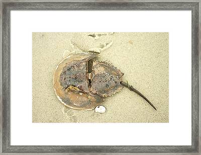 Framed Print featuring the photograph Horseshoe Crab On The Beach by Suzanne Powers