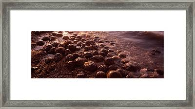Horseshoe Crabs Limulus Polyphemus Framed Print by Panoramic Images