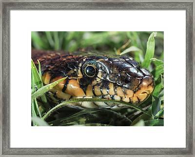 Horseshoe Whip Snake  Hemorrhois Framed Print