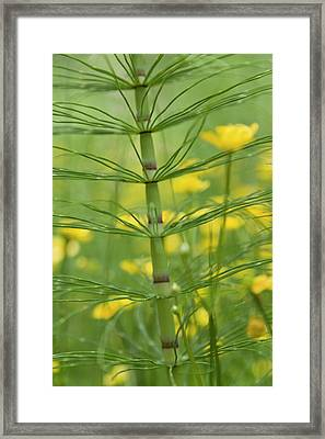 Horsetail Plant And Buttercup Flowers Framed Print by Jaynes Gallery