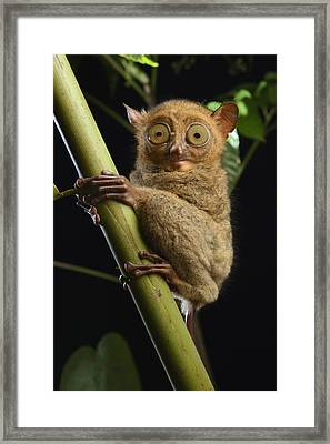 Horsfields Tarsier Kuching Malaysia Framed Print by Ch'ien Lee
