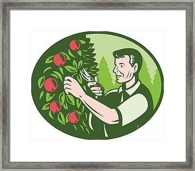 Horticulturist Farmer Pruning Fruit Framed Print by Aloysius Patrimonio