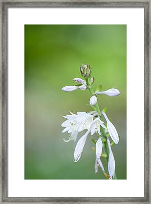 Hosta Bloom Framed Print by Jeff Tureaud
