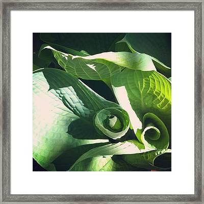 Hosta Curl Framed Print by Stephanie Aarons
