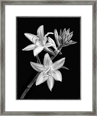 Hosta Flowers In Black And White Framed Print by Carolyn Derstine