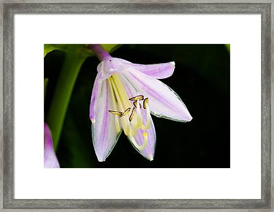 Hosta In Bloom Framed Print