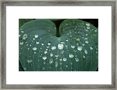 Hosta Leaf With Dew Drops Close Framed Print by Anna Miller