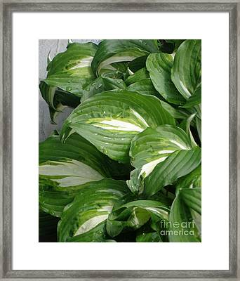 Framed Print featuring the photograph Hosta Leaves After The Rain by Christina Verdgeline