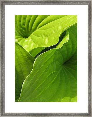Hosta Leaves Framed Print by Tracy Male