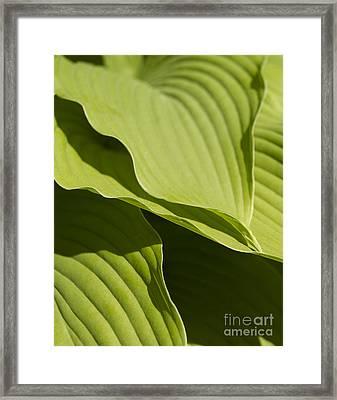 Hosta Framed Print by Tony Cordoza