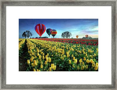 Hot Air Balloons Over Tulip Field Framed Print