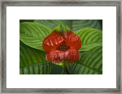 Hot Lips Flower Ecuador Framed Print by Pete Oxford