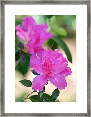 Hot Pink Azalea Framed Print by Sabrina L Ryan