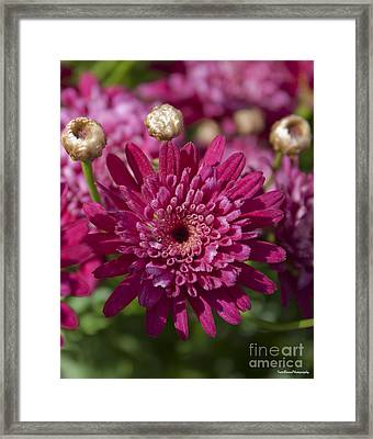 Hot Pink Chrysanthemum Framed Print by Ivete Basso Photography